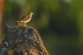 Sandpiper sits on a rock Stock Image