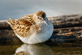 Sandpiper standing in the waters of jamaica bay wildlife refuge shorebird fluffy scolopacidae and its breast feathers reflection Stock Photos