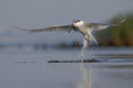 Sandwich tern thalasseus sandvicensis off the water Stock Image