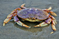 Sandy Crab on Beach Royalty Free Stock Images