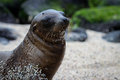 Sandy sea lion Royaltyfri Bild