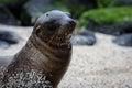 Sandy sea lion Royalty-vrije Stock Afbeelding