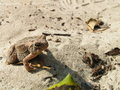 Sandy toad Royalty Free Stock Images