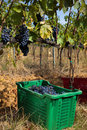 Sangiovese grape harvest rows of grapes taken during the the grapes are harvested by hand is placed inside large colorful baskets Stock Photography