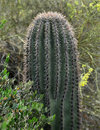 Sanoran desert cactus in closeup cacti typically have a thick green fleshy appearance they are protected by plentiful prickly and Stock Photos