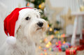 Santa miniature schnauzer portrait of white with s hat Stock Photos