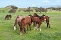 Santa ynez horses Stockbild