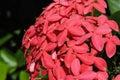 Santan Flower Or Ixora Coccinea