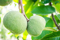 Santol fruit fruits tropical tropical taste sweet sour Royalty Free Stock Image