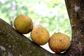 Santol fruit on tree in thailand sweet taste and domestic fruits Stock Photography