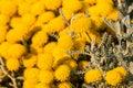 Santolina chamaecyparissus Royalty Free Stock Photo
