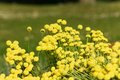 Santolina flowers a field full of Stock Photo