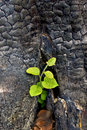 Sapling from the charred stump Royalty Free Stock Photo