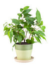 Sapling a favourite indoor plant Royalty Free Stock Image