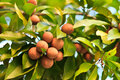 Sapodilla fruit on the tree many with leaf Royalty Free Stock Photography