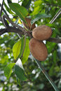Sapodilla tree in the garden Stock Photo
