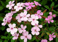 Saponaria ocymoides Royalty Free Stock Photo