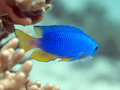 Sapphire damsel in bohol sea phlippines islands Stock Photo