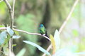 Sapphire vented puffleg eriocnemis luciani luciani Royalty Free Stock Photography