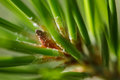 Sappy pine growth bud closeup of a lodgepole pinus contorta needles hiding a oozing sap Royalty Free Stock Photography