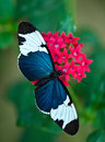 Cydno Longwing butterfly (Heliconius cydno) Royalty Free Stock Photo