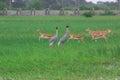 Saras birds and black bucks Royalty Free Stock Photo