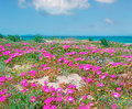 Sardinian flowers pink by sea Stock Photo
