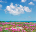 Sardinian flowers pink by sea Stock Image