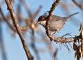 The Sardinian Warbler Royalty Free Stock Photo