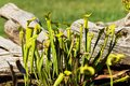 Sarracenia flava rugelii a pair of pale pitcher plants in a grassy field wetland environment Royalty Free Stock Photos