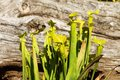 Sarracenia flava rugelii a pair of pale pitcher plants in a grassy field wetland environment Royalty Free Stock Photography