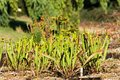 Sarracenia flava rugelii a pair of pale pitcher plants in a grassy field wetland environment Royalty Free Stock Image