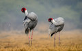 Sarus crane couple preening grus antigone pair in its natural habitat at bharatpur india Royalty Free Stock Photo