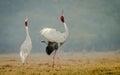 Sarus Crane courtship Royalty Free Stock Photo