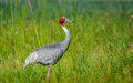 Sarus Crane with green background Royalty Free Stock Photo