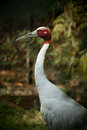 Sarus crane in indian zoo blur in background Royalty Free Stock Photography