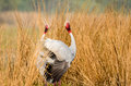 Courting Sarus Cranes Royalty Free Stock Photo