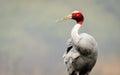 Sarus crane preening grus antigone in its natural habitat at bharatpur india Stock Images