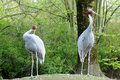 Sarus cranes in bird park avifauna in netherlands Stock Images