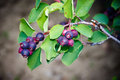 Saskatoon Berry Plant Royalty Free Stock Images