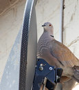 Satellite bird nesting photo of a collared dove behing a tv dish with the sunlight filtering through the perforated holes of the Royalty Free Stock Photography