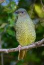 Satin bower bird female a in an australian rainforest at sunrise Stock Photos