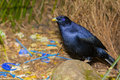 Satin bowerbird at his bower male tending with its collection of found blue objects lamington national park queensland Stock Photography