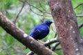 Satin bowerbird ptilonorhynchus violaceus male in australia Royalty Free Stock Image
