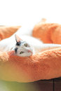 Satisfied cat black and white turkish van portrait lying on the fluffy pillow muzzle expression cute pose Stock Image