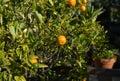 Satsumas Tree Royalty Free Stock Photo