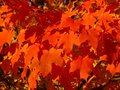 Saturated Maple Leaves Background Stock Photo