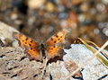 Satyr comma butterfly resting a on on mount rainier Royalty Free Stock Image
