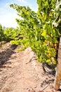 Sauvignon blanc Royalty Free Stock Photo