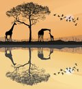 Savana with giraffes Royalty Free Stock Photo